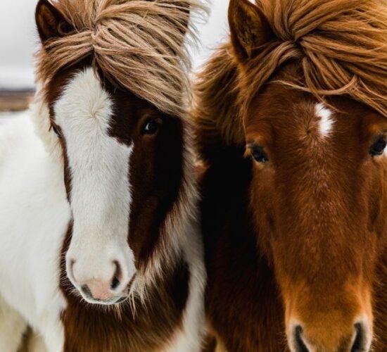 Tour in Islanda alla scoperta di simpatici pony